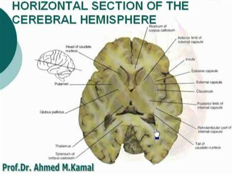 horizontal section of brain 60 horizontal section of the cerebral hemisphere أحمد كمال