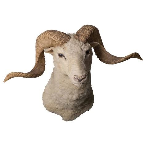 dall ram for sale vintage dall ram taxidermy for sale at 1stdibs