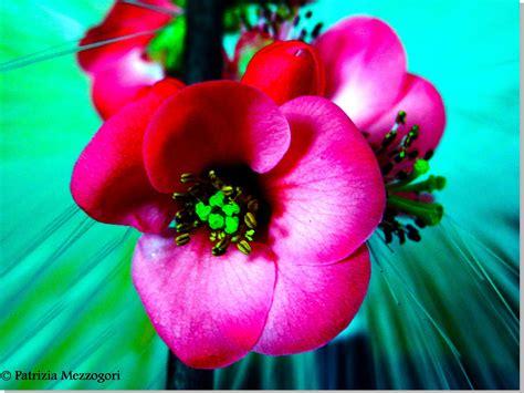 fiori di fiori rosa fiori di pesco