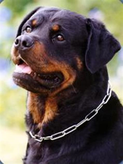 rottweiler origin and history australian breeds gallery breeds pedigree