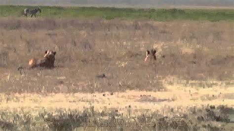 imagenes de leones vs hienas africa salvaje impresionante imagenes leones cazando