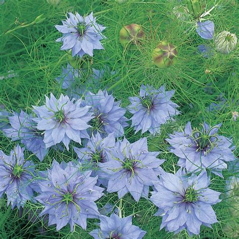 buy love   mist nigella damascena  jekyll