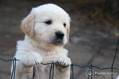 golden retriever te koop puppyplaats nl golden retriever puppy s te koop golden retriever pups