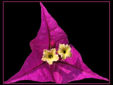 triangle flower flowers nature background wallpapers