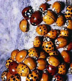 ladybugs in my house insect art ladybugs in your house