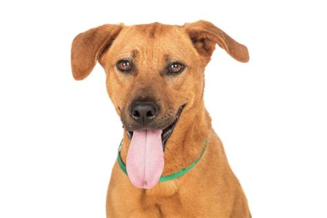 whats a good house dog rhodesian ridgeback lab mix what is this dog