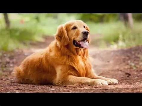 golden retriever till salu golden retriever valpar golden retriever valpar till salu