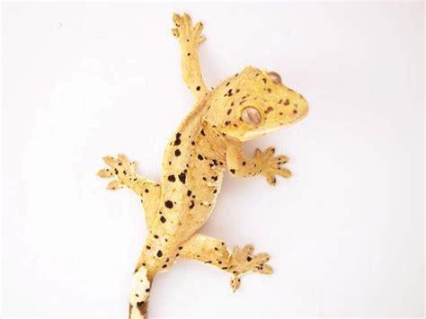 crested gecko colors 17 best ideas about gecko vivarium on geckos