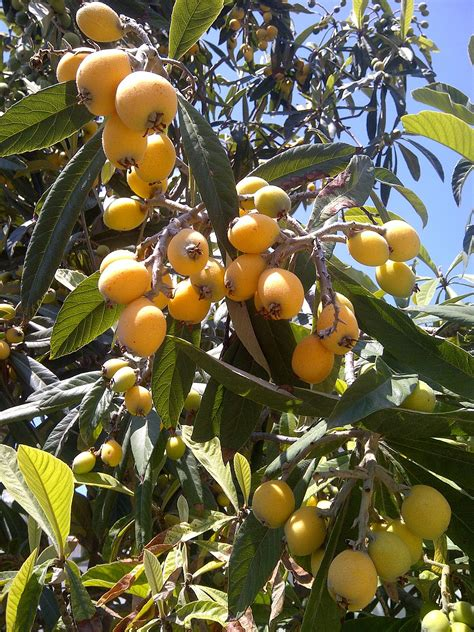 what is a of fruit trees called loquat