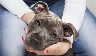 how do you start a in a pit vet s tips on how to raise a pit bull puppy healthily