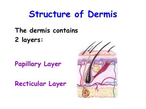 diagram of the dermis katman science
