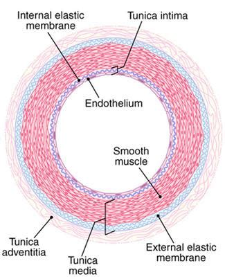 blood vessel cross section cardiovascular histology medicine structure and function