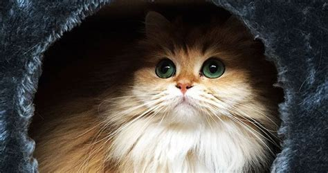 best of cat the best looking cat in the world is named smoothie