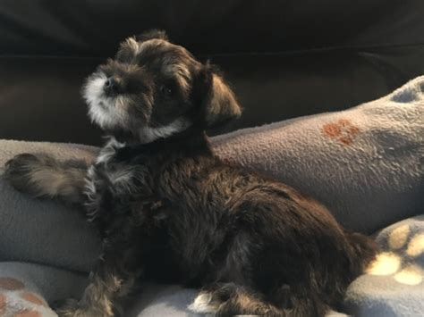 puppy finder iowa view ad schnauzer miniature puppy for sale iowa marshalltown usa
