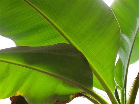 banana tree wallpaper download banana tree leafs botanica pinterest trees white