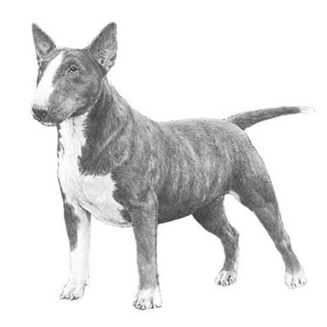 bull terrier miniature the life of animals miniature bull terrier dog breed information