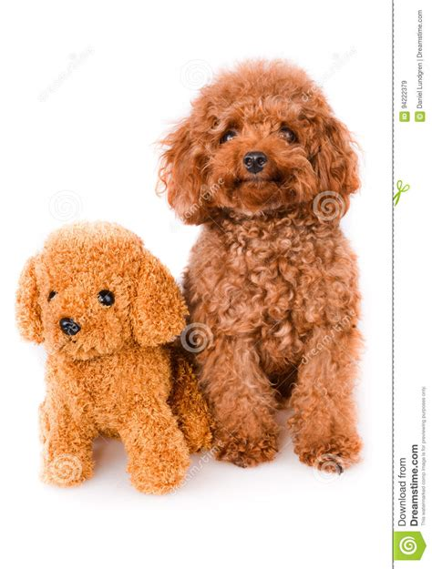golden house miniature gold toy stock illustration mini toy poodle with golden brown fur on a white