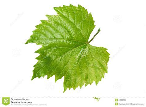 imagenes hojas de sen hoja de la vid imagen de archivo imagen de bot 225 nica
