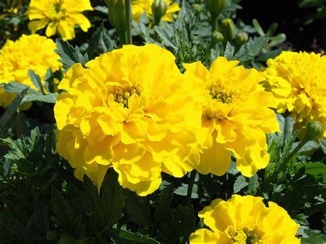 Yellow Marigold yellow marigold flowers photograph by robert gebbie