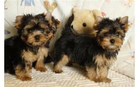 chi yorkie puppies chihuahua and yorkie puppies text me at 985 276 9262 dogs