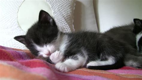 imagenes blanco y negro gatitos chat domestique naissance allemagne hd stock video