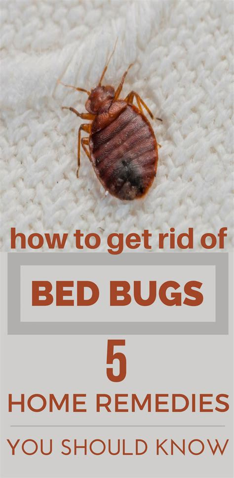 how to get rid of bed bugs 5 home remedies you should