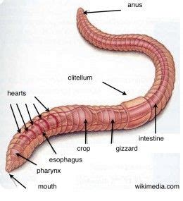 earthworm dissection observations 17 best ideas about earthworms on worms worm farm and worm crafts