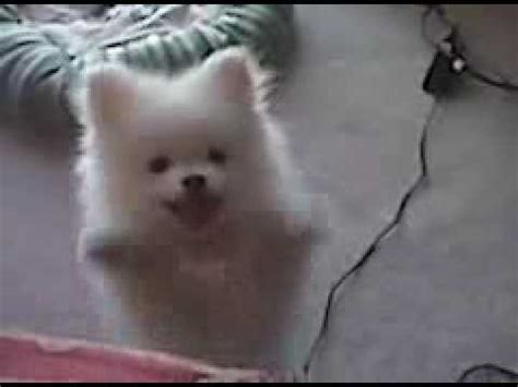 puppy cries at white pomeranian puppy