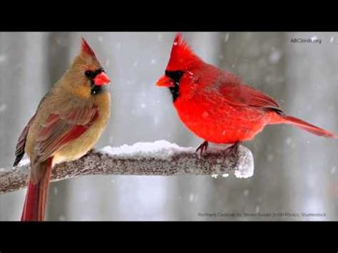 northern cardinal song youtube