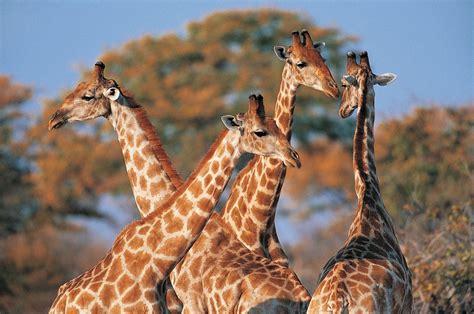 imagenes de jirafas salvajes banco de im 193 genes animales salvajes 16 fotograf 237 as en