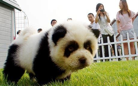 dogs that look like pandas panda dogs in china chow chow dogs are dyed to look like a panda pets world