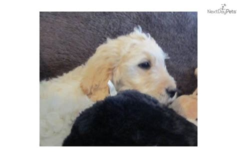 yankee doodle puppies for sale meet dandy a goldendoodle puppy for sale for 700