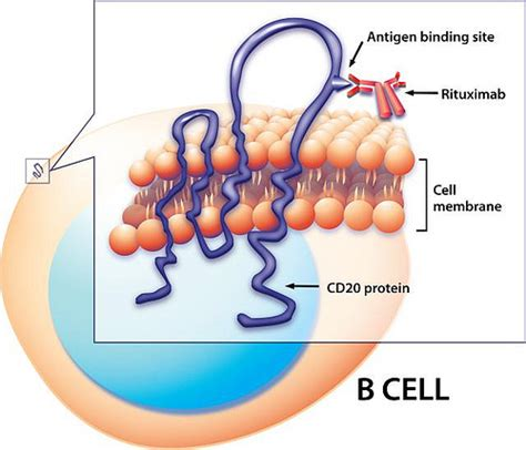 Rituximab Also Search For Rituxima Binding To Cd20 On A B Cell Surface Flickr Photo