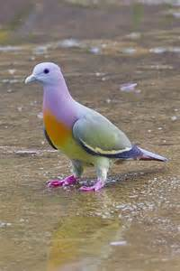 colored pigeons multi colored pigeon fly