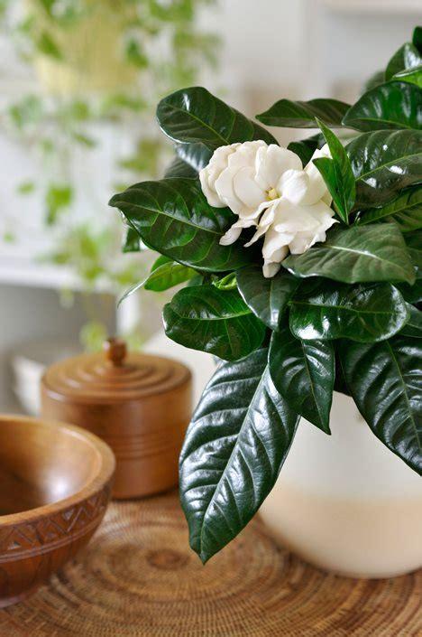 growing gardenias   care  gardenia plants