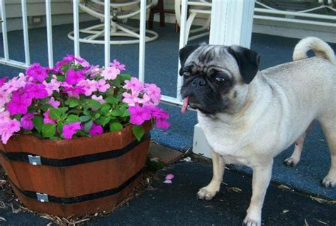 pugs and seizures cat the senior pug alerts human to visitors and