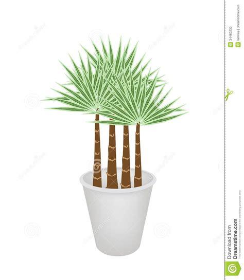 palme in vaso illustrazione delle palme in un vaso di fiore