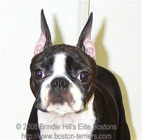 taping pugs ears boston terrier ears pictures to pin on pinsdaddy