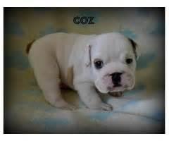 rottweiler puppies for sale in oahu hawaii maltipoo puppy animals pepeekeo hawaii announcement 31754