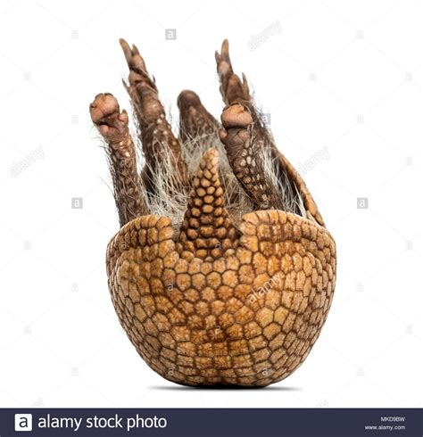 banded armadillo stock   banded armadillo stock images alamy