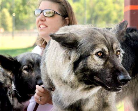 american alsatian puppies for sale 25 best ideas about american alsatian on