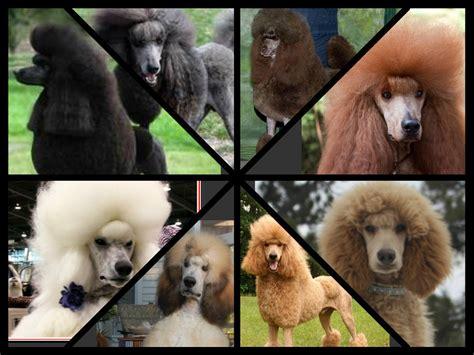 poodle colors genetics coat color s standard poodles
