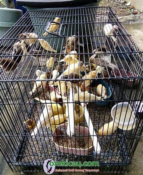 Harga Pakan Burung Crispy beternak kenari sejak smp om pasa eksis mengelola canary