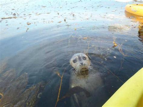 sea puppy common sd dolphin picture of oex la jolla la jolla tripadvisor