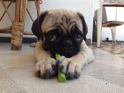 are pugs with children the pug my rocks