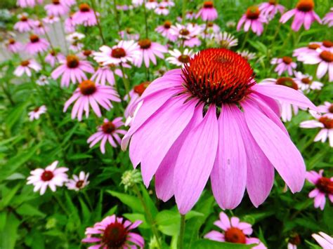 1000 images about deerproof gardening on pinterest plants perennials and shades