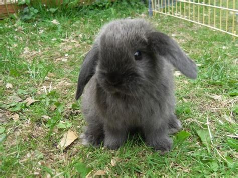 Lop Cd 21 best images about bunnies i don t sell them on