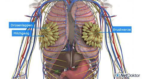 Brust Mann Bilder by Brustschmerzen Mastodynie Ursachen H 228 Ufigkeit Tipps