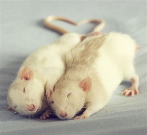 Adorable Pets by Rat Pictures By Florence