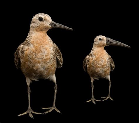 arctic warming causes bird to shrink in size shrinking shorebird pays the bill for rapid arctic warming